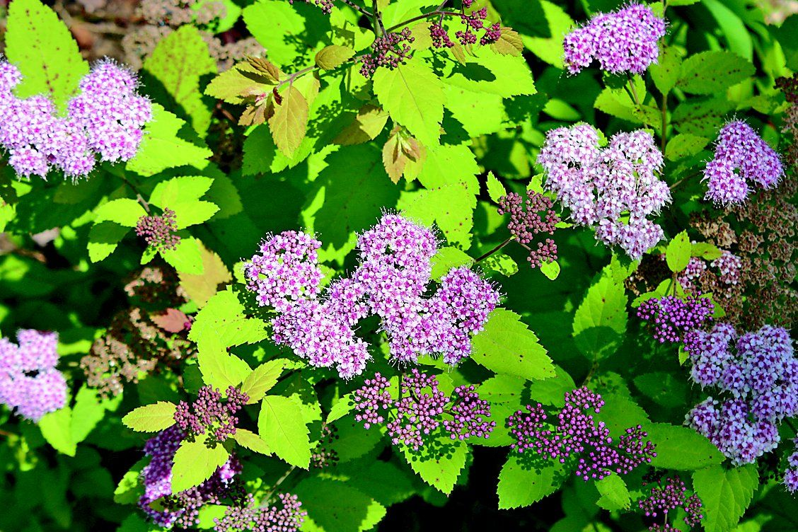 Spirea Easy To Care For Lifestyles Muskogeephoenix