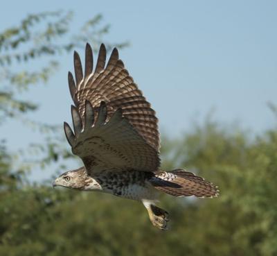 B.C. hawk-eagle encounter remains a mystery