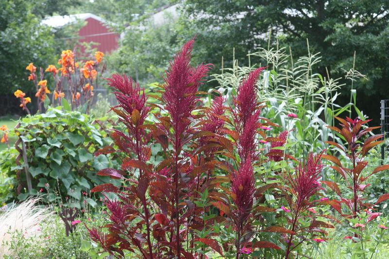 All the Dirt on Gardening: Amaranth beautiful, edible