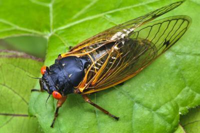 No 17-year cicadas for Oklahoma this summer