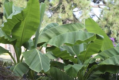All the Dirt on Gardening: Cold Hardy Banana Trees