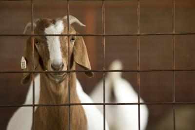 Meat-goat producers may want to take advantage of retained ownership opportunities