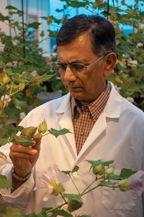 Texas A&M plant biotechnologist Keerti Rathore
