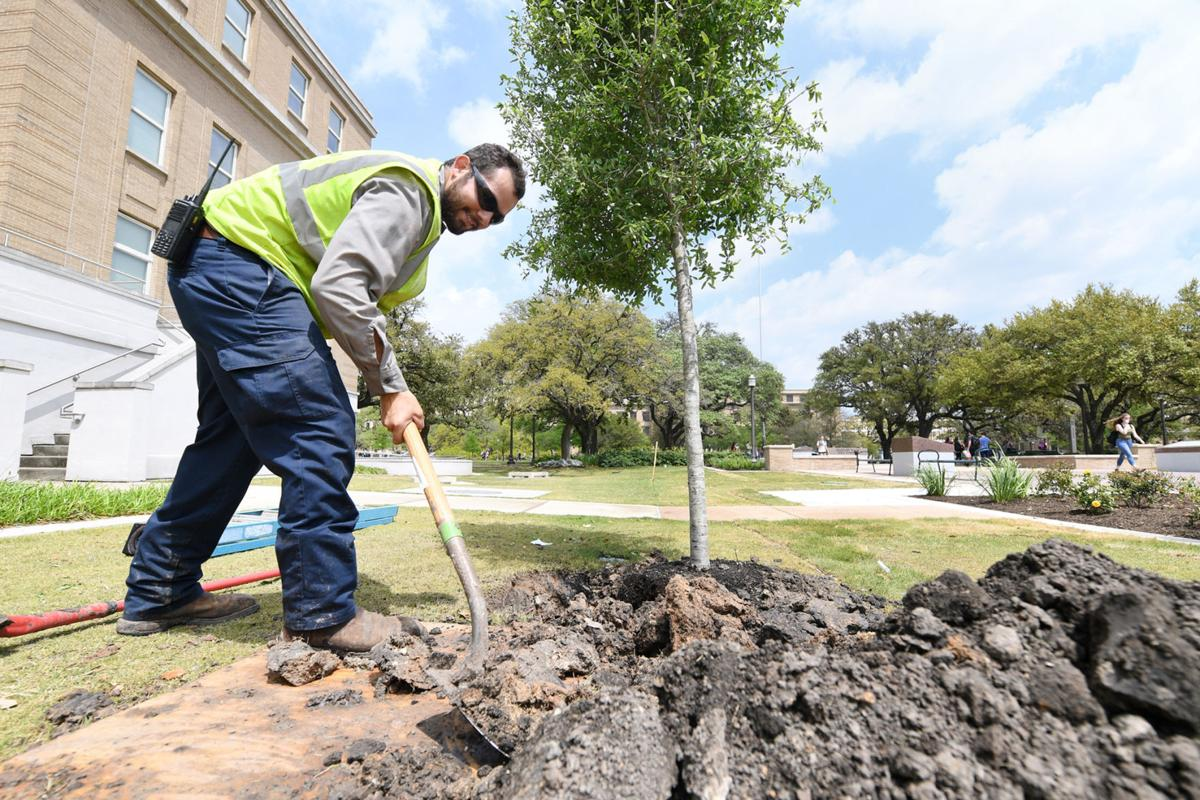 Texas A&M trees getting spruced up