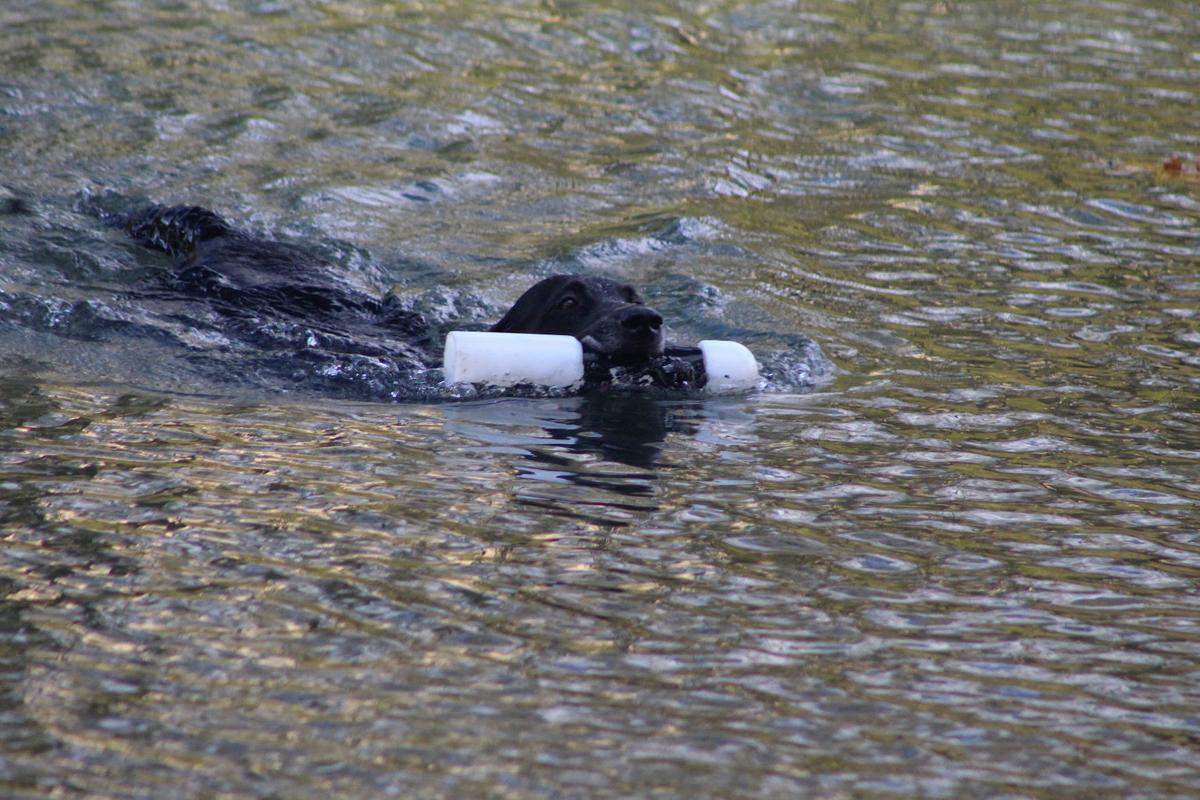 Dogs demonstrate retrieving skills at Waterfowl Festival