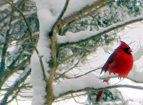 Winters Red Birds Symbol Of Warmth Queen Annes County