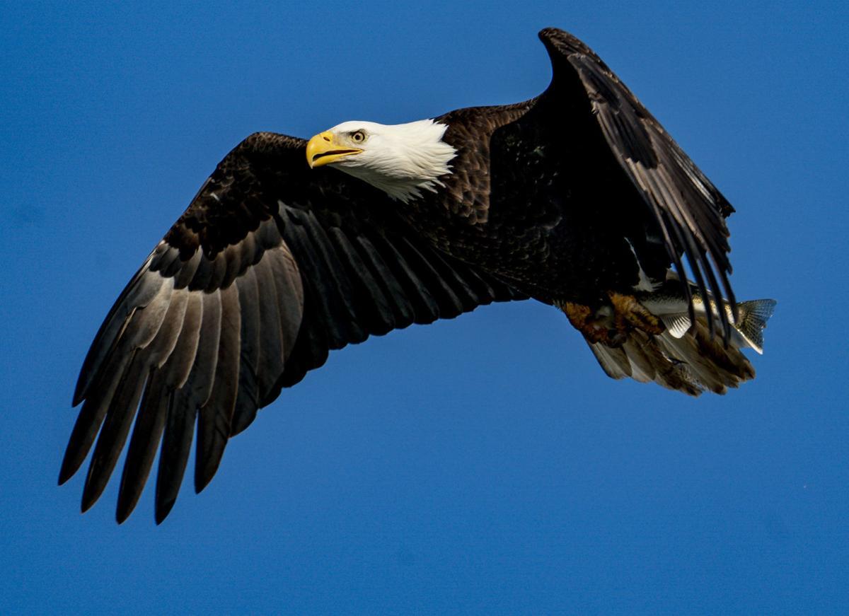 The bald eagles of Conowingo Dam