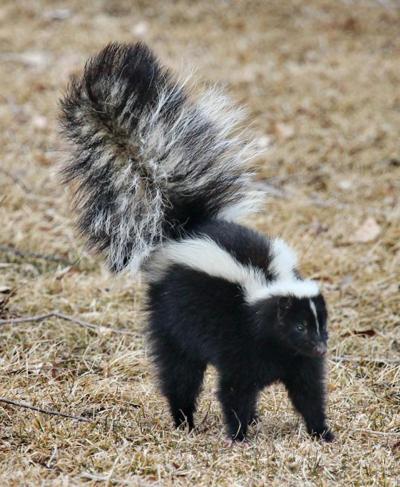 Rabid skunk reported in Preston