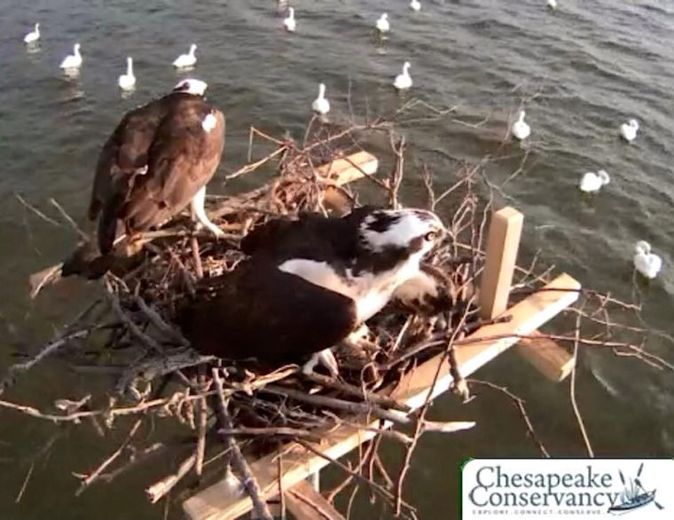 Tom and Audrey the Osprey