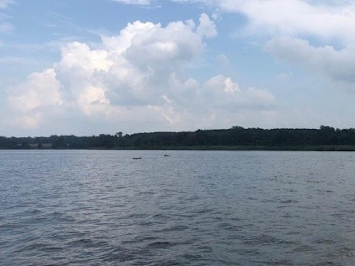Dolphins spotted in the Chester River
