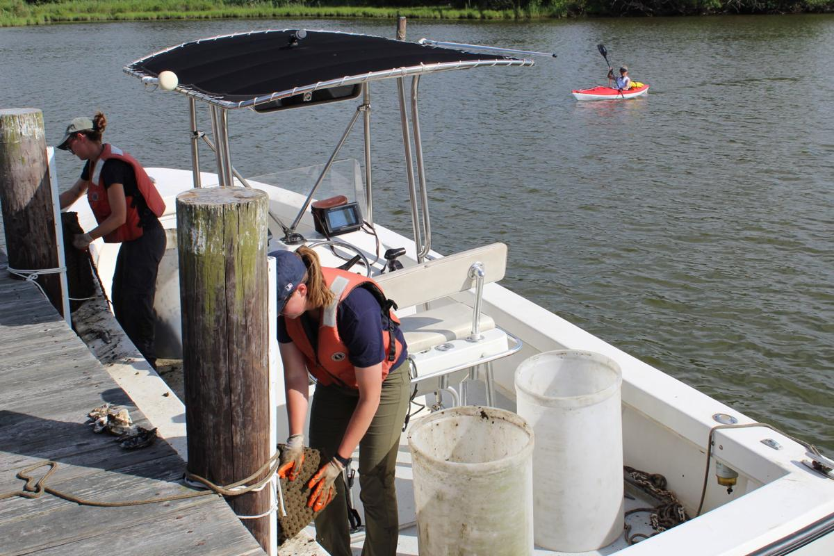 Oysters planted to help Chester River