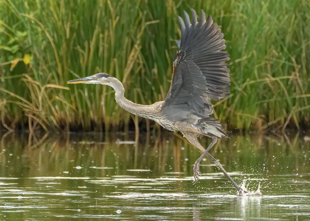 Wayne Zussman photo of blue heron flying