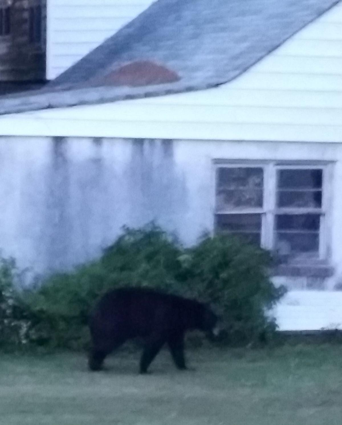 More bear sightings