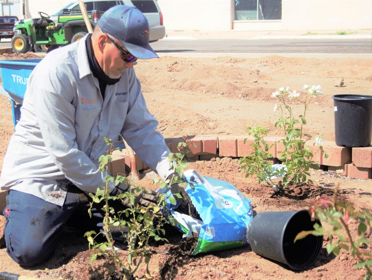Rose bushes planted at City Hall as part of 'Douglas Bloom Initiative'