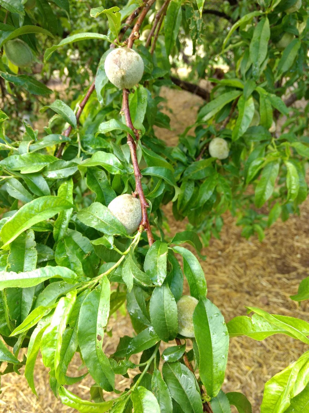 SV farmers market peach tree