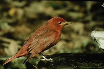 San Pedro area crucial to many bird species   Community