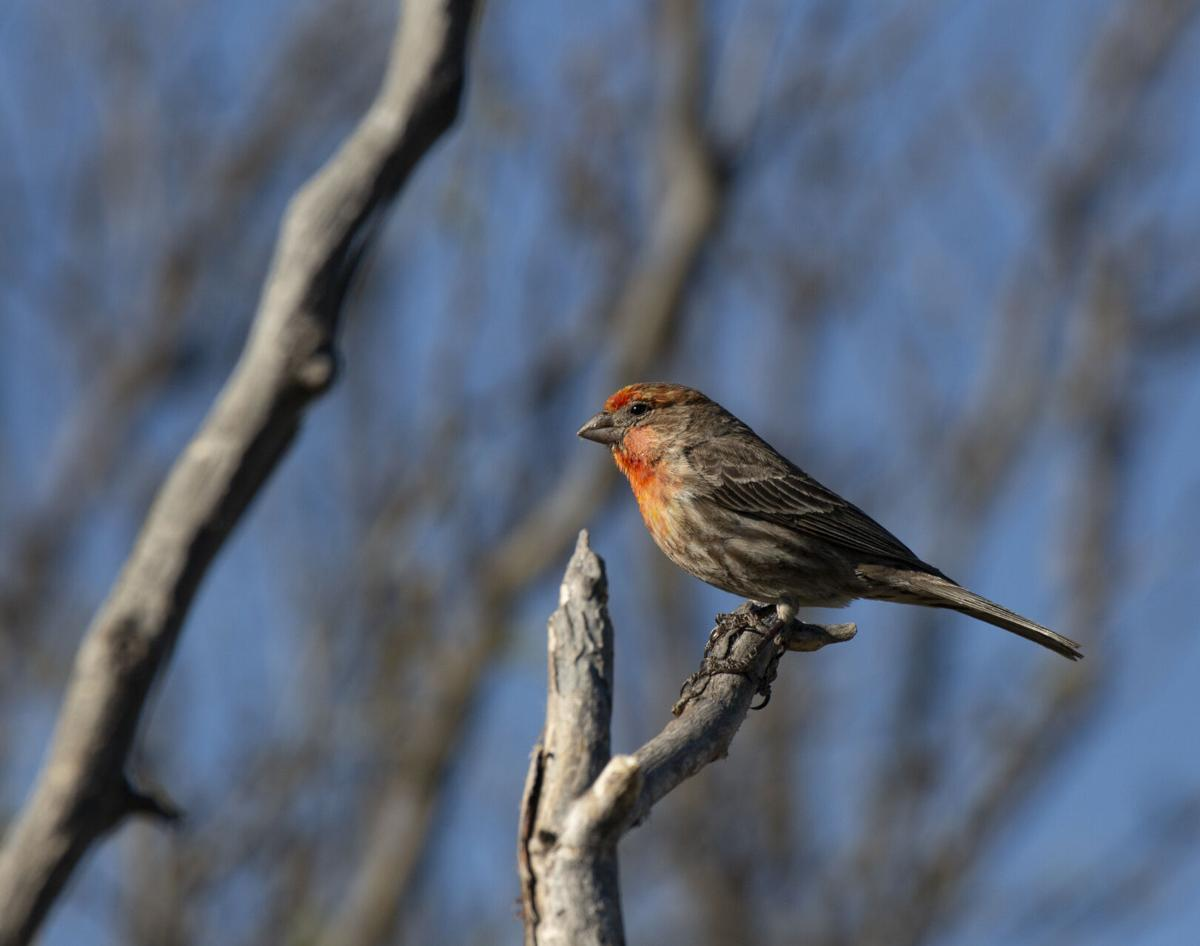 1W2A3592 Yellow Variant Male House Finch.jpg