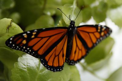 Monarch Butterfly Threatened