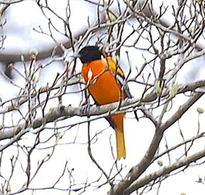 Baltimore Orioles provide a great splash of bright orange color against a drab winter landscape. (Photo by Terry Johnson)