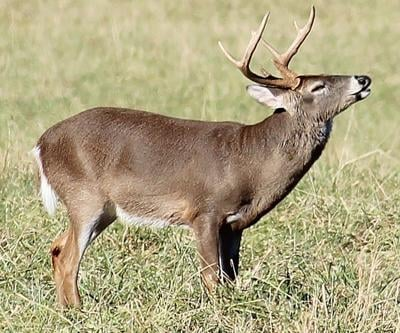 Seeing this white-tailed buck would be exciting for an archery hunter. Archery season opens Saturday with several opportunities to hunt on public lands. (Photo/Georgia Department of Natural Resources Steve Kyles).