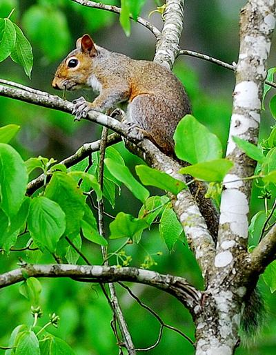 Hunting gray squirrels like this one is a challenging sport and a great chance to be outdoors, but avoid consuming the squirrel's brains. (Photo/Terry Johnson)