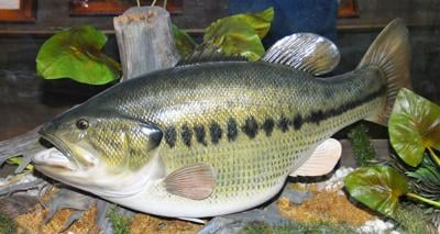 This model of what George Perry's world record bass would have looked like is on display at Bass Pro Shop in Macon. (Photo/Terry Johnson)