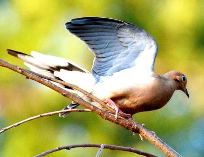 During the 2019-20 Mourning Dove season, 33,400 hunters in Georgia hunted the popular game bird. (Photo/Terry Johnson)
