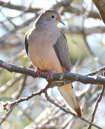 Hunting season for mourning doves opens Sept. 7. (Photo/Terry Johnson)