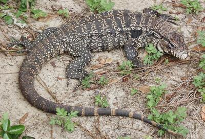The black and white tegu is a non-native, invasive species that especially threatens reptiles and birds that lay eggs on the ground, like the wild turkey, northern bob white, gopher tortoise and alligator. (Photo courtesy of Georgia Department of Natural Resourses, Dustin Smith)