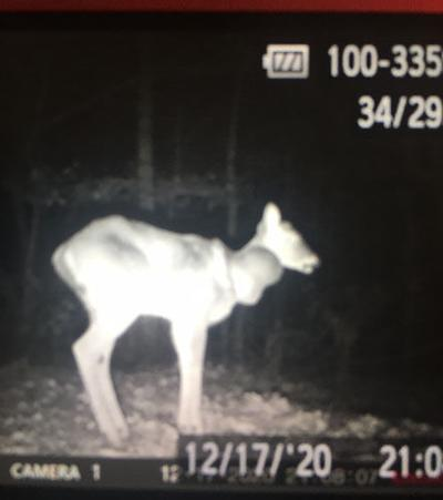 This photo taken in Monroe County by a trail camera on Dec. 17. It shows an emaciated white tailed deer with a large swelling on its throat. The cause of its condition remains a mystery.