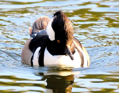 The waterfowl hunting season that includes hooded mergansers like the one above runs from Nov. 21-29 and from Dec. 12-Jan. 31. The daily bag limit on hooded mergansers is 2. (Photo/Terry Johnson)