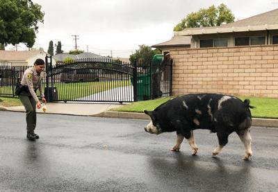 Nacho Cheese or Cool Ranch? Doritos lure rogue pig back home