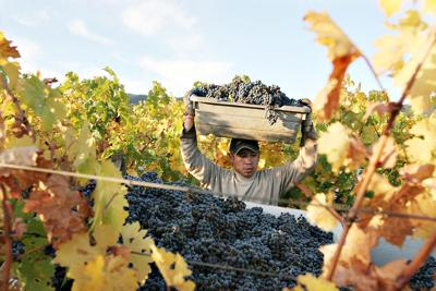 To Kalon Vineyards Harvest