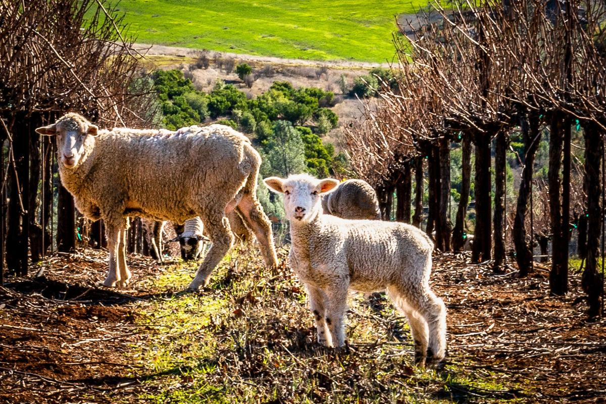 The Napa Valley Lamb Co.