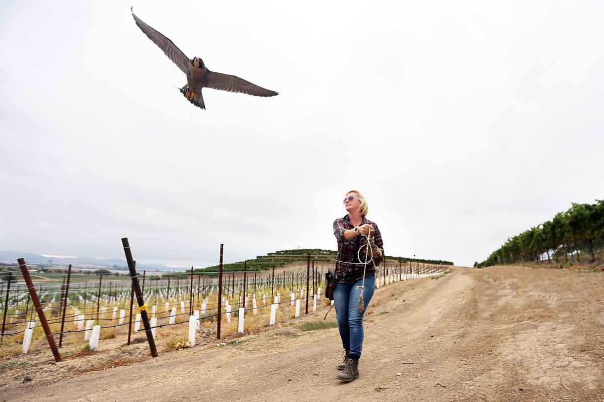 Napa vineyard owners turn to dive-bombing falcons to protect