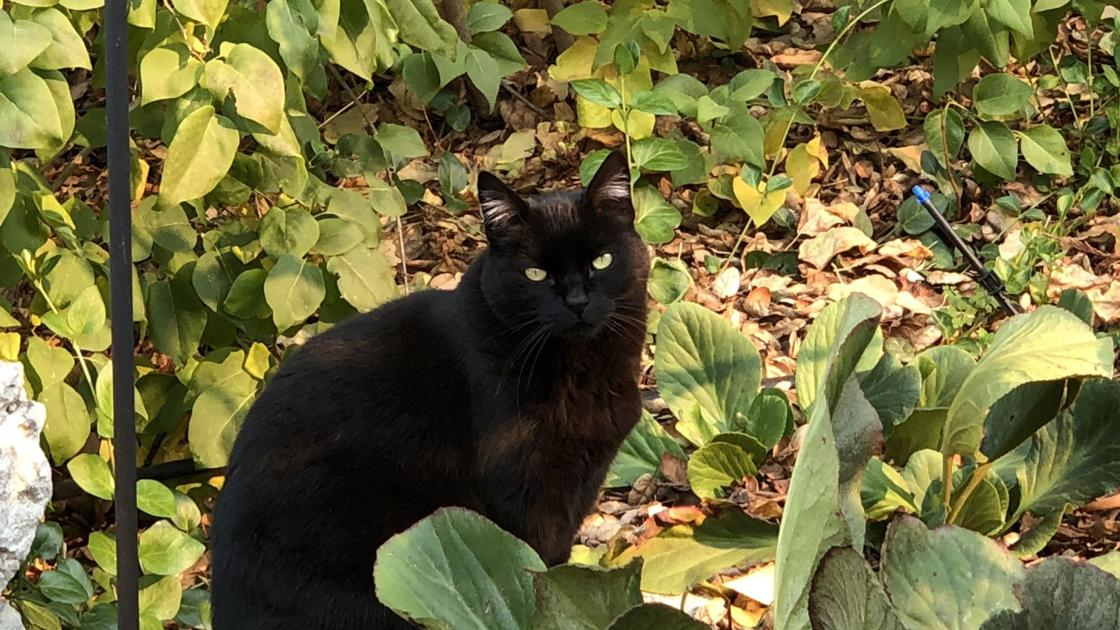 From Our Readers: Black Cats of Napa County