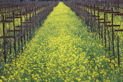 Vineyard Mustard