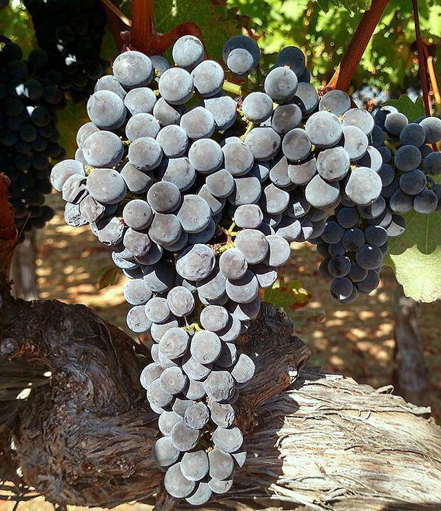 Cabernet sauvignon grapes almost ready