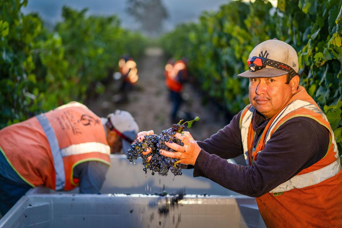 Napa Valley grape harvest 2019 1.2