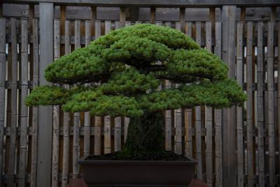 JAPAN-TREES