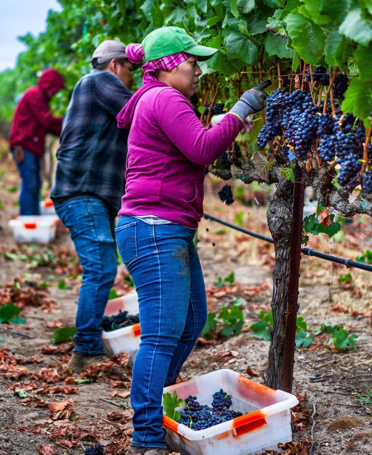 Picking Pinot Noir grapes