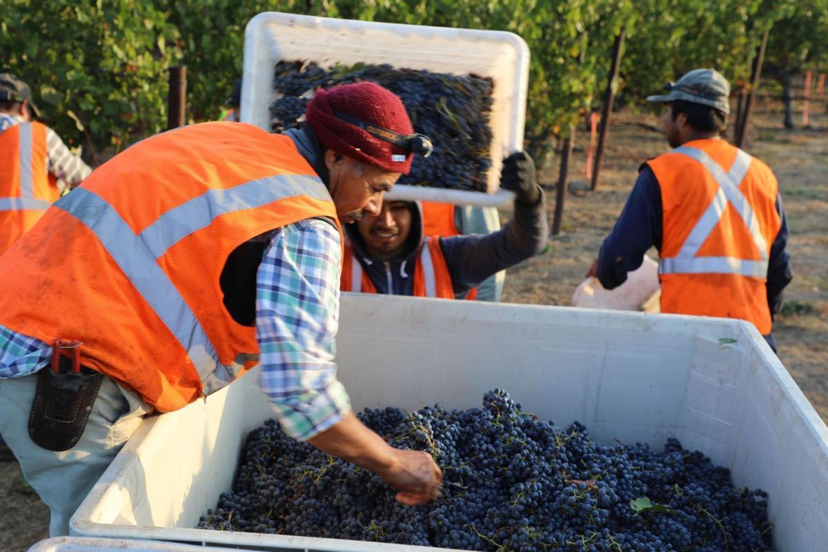 Harvest workers Gamble Family Vineyards, 2017