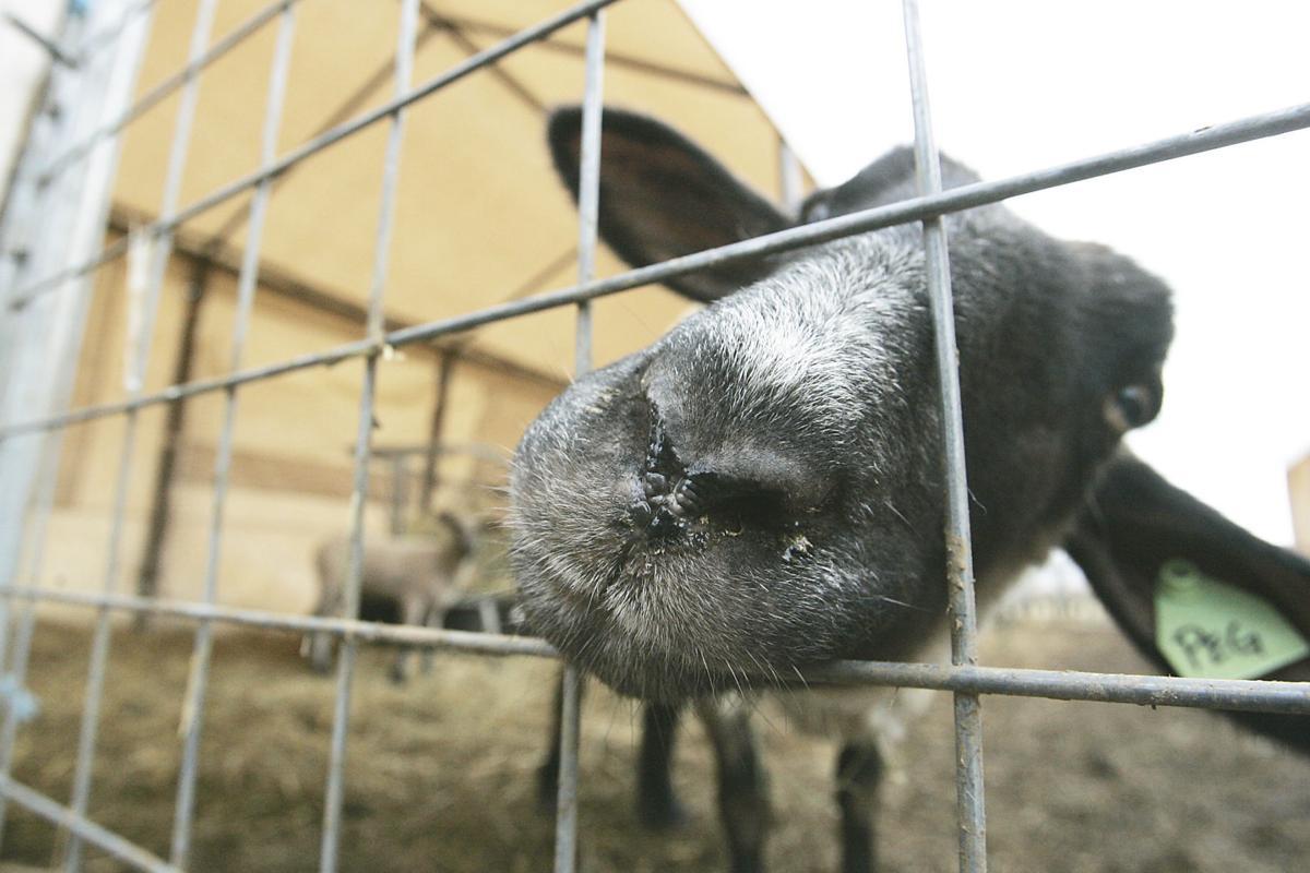 Vintage High School Farm Lambs