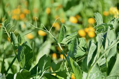Spottswoode  cover crop