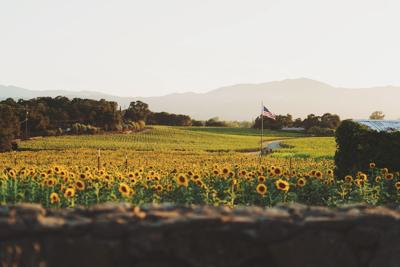 Sunflowers at Rudd Oakville Estate