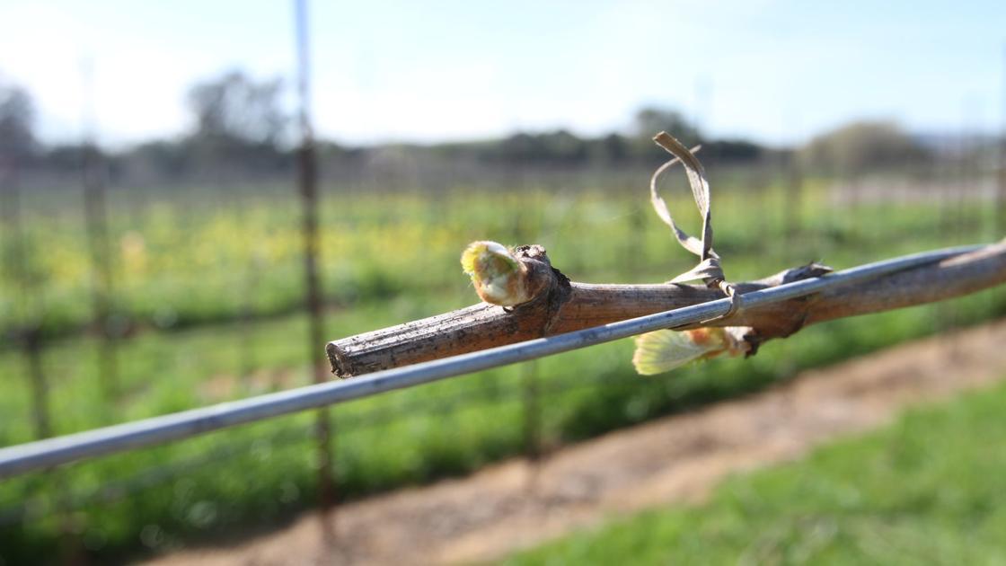 Bud break begins for vineyards in southern Napa Valley