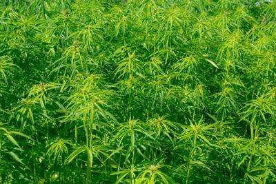 Field with industrial hemp plants