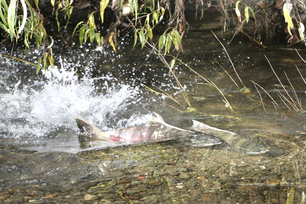 75 salmon return to napa river to spawn upvalley local for Napa river fishing