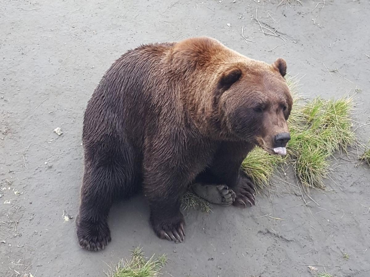 Grizzly bear at Alaska Wildlife Conservation Center