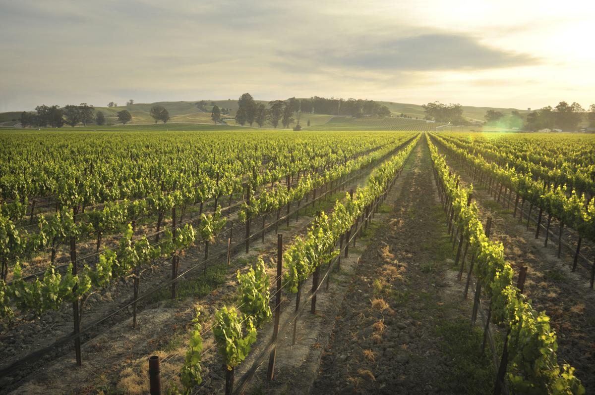 Rodney Strong Vineyards, Petaluma Gap, Blue Wing Vineyard